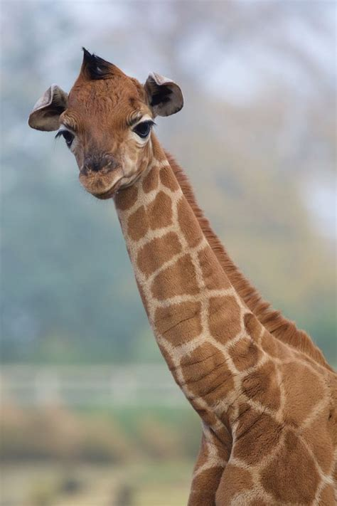 rothschild giraffe born  dublin zoo zooborns
