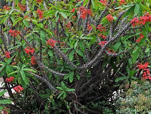 "Crown of thorns plant in ""apache red"" 