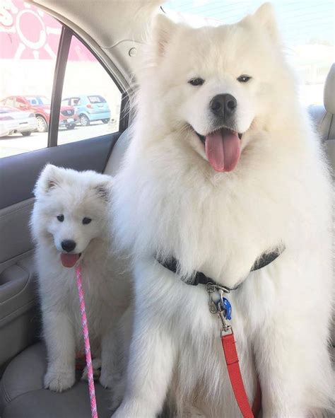 25 Best Ideas About Samoyed Puppies On Pinterest