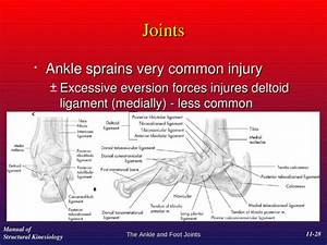 Chapter 11 The Ankle And Foot Joints Manual Of Structural