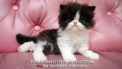 hamster  kucing persia murah surabaya kucing persia