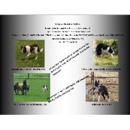 Eclipse Border Collies Border Collie Breeder Inmings