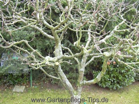 Magnolie Radikal Schneiden by Der Obstbaumschnitt Baumschneiden Selbst Gemacht