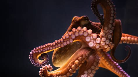 Animals Underwater Octopus Wallpapers Hd Desktop And Mobile Backgrounds