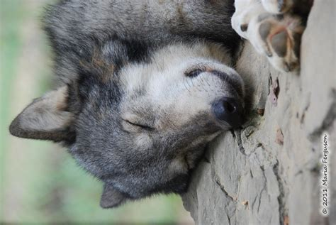 wolf pictures sleeping