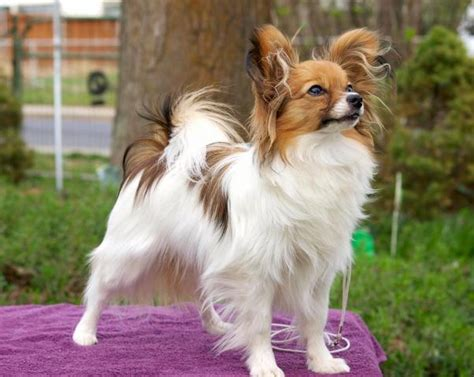 dog breeds that don t grow big small sized tiny