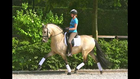 andalusian buckskin dressage pre stallion andalusier