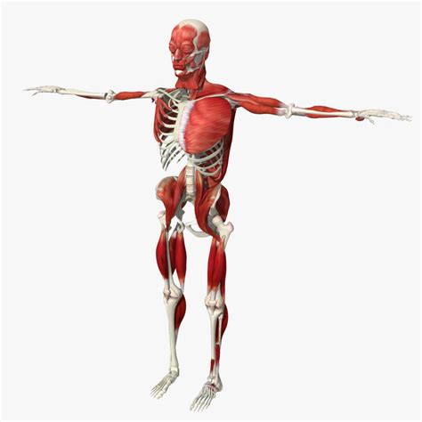 Human bone is as strong as steel but 50 times lighter. 3d human bone muscle structure model