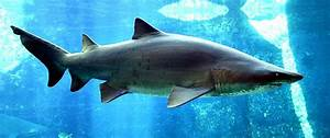 10 Fun Facts About Sand Tiger Sharks Fun Facts You Need