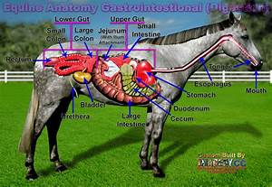 Equine Digestive System  Click For Much Larger View