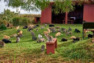 cat sanctuary this cat sanctuary on lanai has become hawaii s most