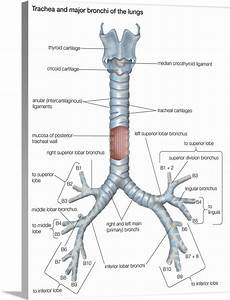 Trachea And Major Bronchi Of Lungs  Respiratory System