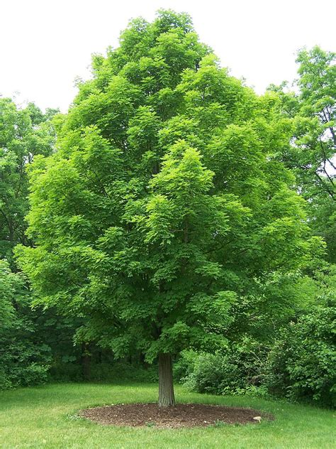 Types Of Maple Trees  Best Trees To Plant. Living Room Recipes. Living Room Without Couch Ideas. Photos Of Living Rooms Designs. The Living Room On Elgin. The Living Room Coffee And Lounge. Black Gloss Living Room Furniture. Grey Brown Living Room Decor Ideas. Hanging Lights In Living Room