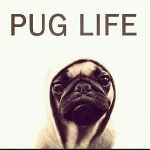 Funny Pug Pictures CrazeCentral