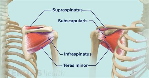 Click here to learn the concepts of tendons from biology. Soft Tissues of the Shoulder