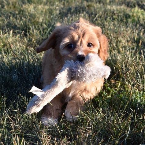 pearl cavapoo puppy  puppyspot