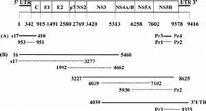 Hcv Genome Organization And A Schematic Outline Of The