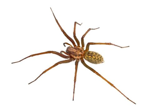 Garden Spider Toxicity by 25 Best Ideas About Spider Identification On
