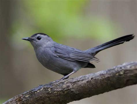 gray catbird 2158s
