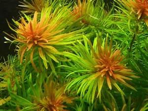 Ludwigia inclinata var. verticillata sp. Cuba - Welkom bij ...