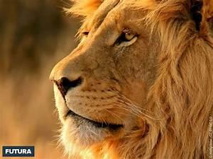 fond d39ecran sa majeste le lion With plan de maison original 14 fond decran lion blanc