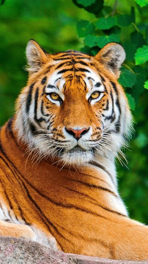 Tiger Big Cat Carnivore Lie Stone Animals Etc For