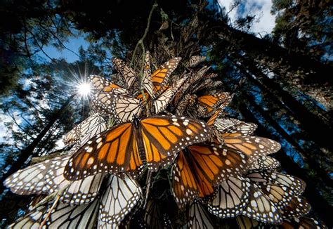 californias charming pacific grove   butterflies