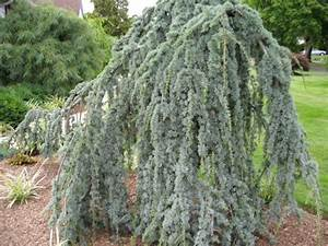 A GUIDE TO NORTHEASTERN GARDENING: Colorful Evergreens in ...  Weeping