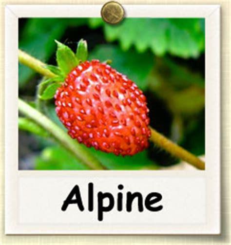 grow alpine strawberry guide  growing alpine