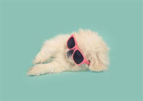 white pekingese puppy wearing pink sunglasses  blue