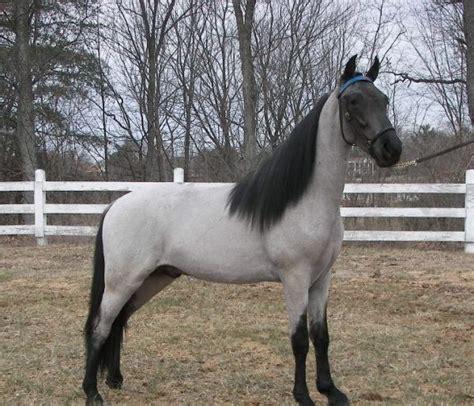 Palomino Roan Horse Color