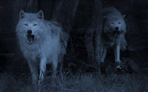 1080p Wolf Wallpaper Hd by 1080p Wolf Wallpaper Wallpapersafari
