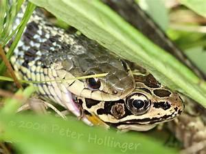 Country Taste Farm : Snake eats Frog