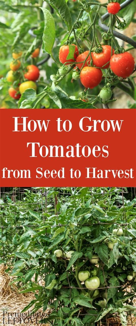 how to grow tomatoes how to grow tomatoes in your garden from seed to harvest