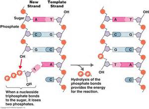 Dna Molecule Labeled Pictures to Pin on Pinterest - PinsDaddy