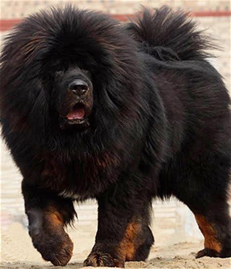 large non shedding guard dogs tibetansk mastiff