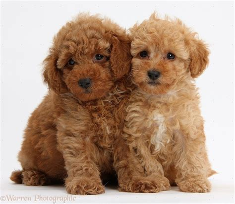 cute red toy poodle puppies white background toy