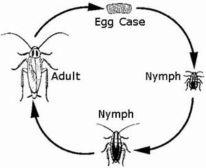 Zoology: Cackriach lifecycle