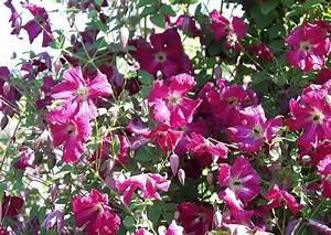 Clematis Viticella Sorten : clematis sorte rubra kermesina waldrebe rote bl ten ~ Lizthompson.info Haus und Dekorationen