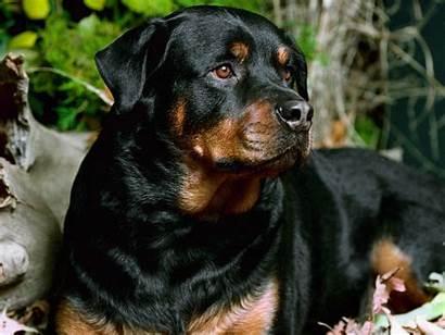 Dog Rottweiler Breed Wallpapers Breeds Backgrounds Desktop