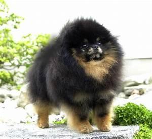 Black & Tan Pomeranians – Pomeranian Dog Breed Facts. Care ...