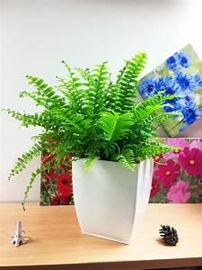 1, Live, Boston, Fern, Large, House, Plant, Pot, Indoor, Tropical, Graden, Nephrolepis
