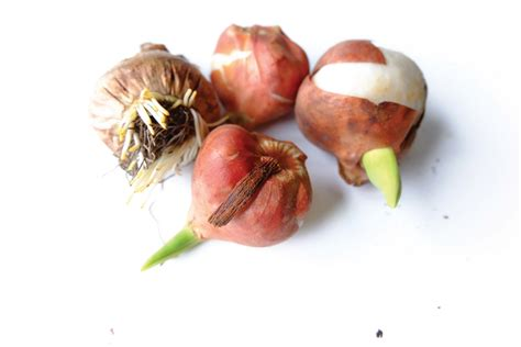 beautiful bulbs buy now to plant in fall boulder county