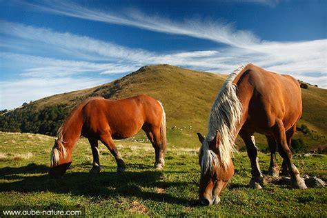 cheval comtois les chevaux fefe  club
