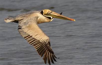 Pelican Brown Oceana Seabirds Baton Rouge Distribution