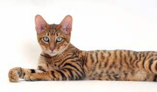 toyger cats toyger cat breed information