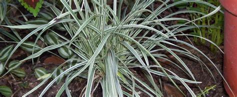 Mondo Grass Ophiopogon Jaburan 'silver Shower
