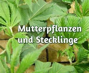 Fuchsien Stecklinge Kaufen : mutterpflanzen selektion und pflege 1000seeds ~ Michelbontemps.com Haus und Dekorationen
