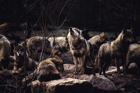 Alpha Wolf Wolf Pack Wallpaper a pack of wolves the alpha prepared to howl hd