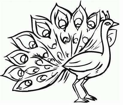 Burung Gambar Mewarnai Coloring Merak Peacock Untuk